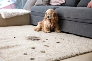 Stained carpet from dirty dog prints.